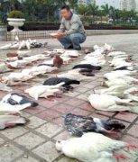 鸽子中毒的症状、原因和治疗方法