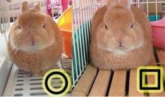 一只能控制自己肉肉形状的兔兔