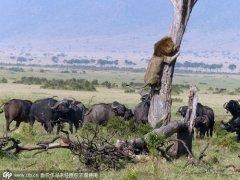 进击的水牛 狮子遭围攻狼狈抱树上