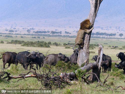 狮子遭围攻狼狈抱树上