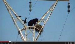黑熊爬电线杆偷鸟蛋