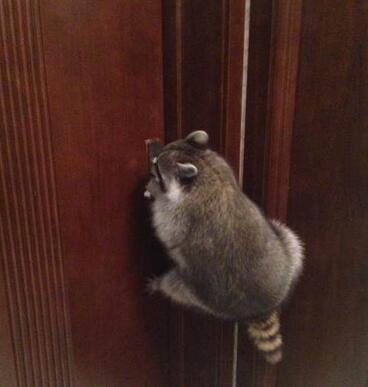 小浣熊,天生的小偷样