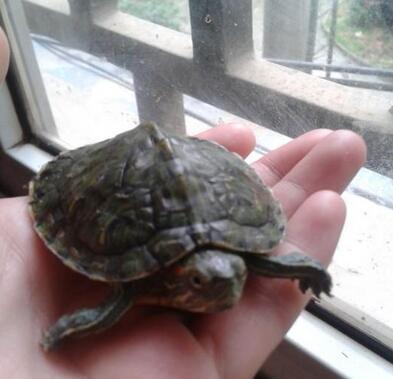 开春啦,还要养乌龟吗