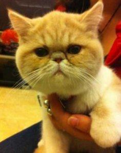 最逗萌宠不愿意让人抱的肥猫