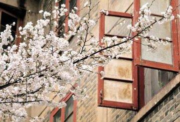 武大樱花将于3月10日盛放 周末限2万名