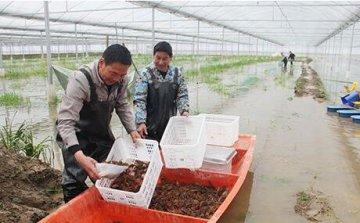 """潜江""""龙虾+茭白""""种养温棚建成 虾、"""