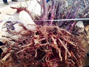 麻城200余年红豆杉遭盗挖