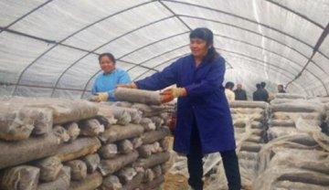 赤东四十八围发展香菇产业助民脱贫
